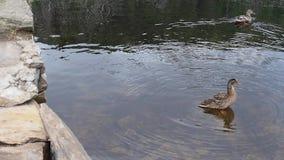 Eenden die in een meer zwemmen stock footage
