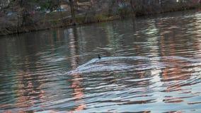 Eenden die in een rivier bij het gouden uur en de zonsondergang zwemmen stock foto's