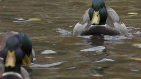Eenden die in een vijver zwemmen stock footage