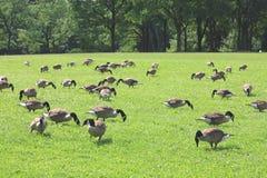 Eenden die gras eten Royalty-vrije Stock Foto