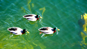 Eenden die in Hallstatt-meer zwemmen Stock Foto