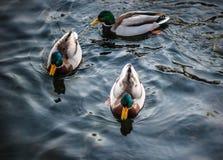 Eenden die in het meer in het park zwemmen Stock Afbeeldingen