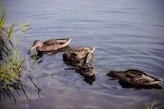 Eenden die in het meer zwemmen Stock Afbeelding