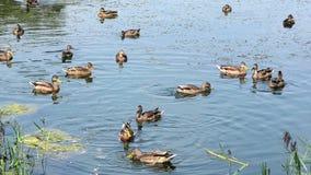 Eenden die in het meer zwemmen stock videobeelden