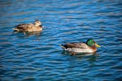 Eenden die in het meer zwemmen Royalty-vrije Stock Afbeeldingen