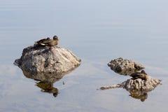 Eenden die op de rotsen zitten Royalty-vrije Stock Foto