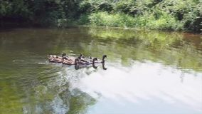 Eenden die op een vijver zwemmen stock video