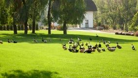 Eenden die op groen gras in park lopen stock video