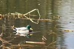 Eenden die op het meer drijven Royalty-vrije Stock Afbeelding