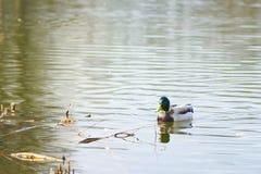 Eenden die op het meer drijven Royalty-vrije Stock Foto