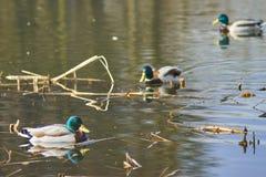 Eenden die op het meer drijven Stock Fotografie