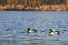 Eenden die op het meer drijven Royalty-vrije Stock Afbeeldingen