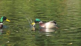 Eenden die op het meer en het eten zwemmen stock footage