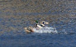 Eenden die op het water landen Stock Fotografie