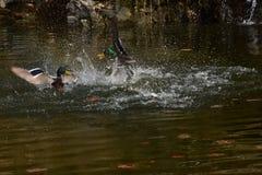 Eenden die op het water vechten Royalty-vrije Stock Afbeelding