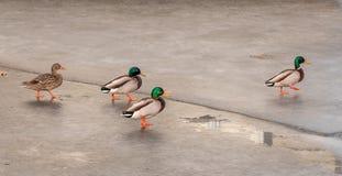 Eenden die op ijs dansen royalty-vrije stock afbeeldingen