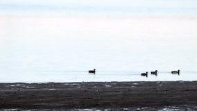 Eenden die rond in het water zwemmen stock videobeelden