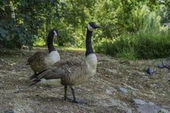 Eenden die rond in Ständehauspark, Dusseldorf, Duitsland wandelen Royalty-vrije Stock Afbeelding