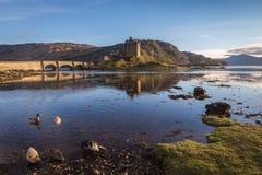 Eenden die tijdens eb in Eilean Donan Castle, Schotland voederen Stock Foto's