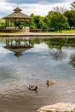Eenden die in vijver zwemmen Stock Foto's