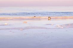 Eenden door de winter overzeese de winteroverzees Stock Afbeeldingen