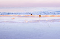 Eenden door de winter overzeese de winteroverzees Royalty-vrije Stock Foto