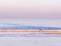 Eenden door de winter overzeese de winteroverzees Royalty-vrije Stock Afbeelding