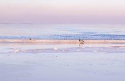 Eenden door de winter overzeese de winteroverzees Royalty-vrije Stock Afbeeldingen