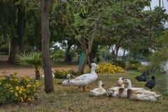 Eenden in een tuin stock afbeelding