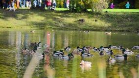 Eenden in een vijver in het park van de de herfststad De lopende mensen ontspannen in het park stock footage