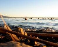 Eenden en de kust royalty-vrije stock afbeelding