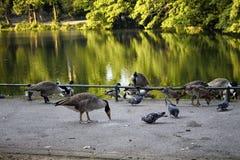Eenden en duiven Royalty-vrije Stock Afbeeldingen