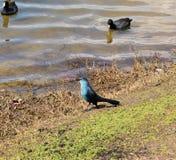 Eenden en vogelsonderzoek naar voedsel samen in hun waterig milieu royalty-vrije stock foto's