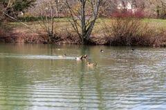 Eenden en watervogels die in een vijver zwemmen Stock Foto's