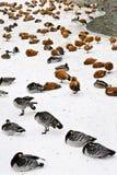 Eenden en zwanen op sneeuw Stock Afbeelding