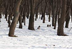 Eenden in het bos Royalty-vrije Stock Foto's