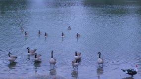 Eenden in het meer Stock Afbeeldingen