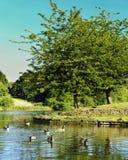Eenden in het park stock afbeeldingen