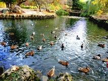 Eenden in het park op het meer stock afbeeldingen
