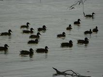 Eenden in het water Stock Foto's