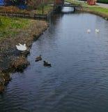 Eenden in het waterkanaal royalty-vrije stock afbeeldingen