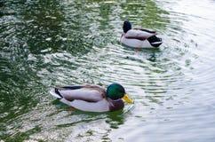 Eenden het zwemmen Royalty-vrije Stock Afbeeldingen