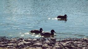 Eenden het zwemmen Royalty-vrije Stock Fotografie