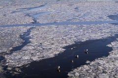 Eenden het zwemmen, zitting en het lopen op het ijs van de Rivier van Moskou in November Royalty-vrije Stock Afbeeldingen