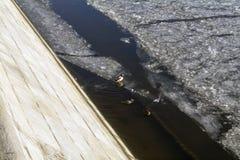 Eenden het zwemmen, zitting en het lopen op het ijs van de Rivier van Moskou in November Royalty-vrije Stock Foto