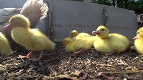 Eenden met mamma Eigengemaakt en quacking stock videobeelden