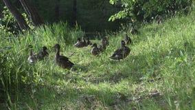 Eenden met volwassen eendjes in een gras op de bank van het meer in de zomer zonnige dag stock footage