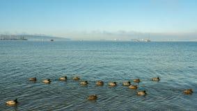 Eenden op de oceaan Stock Afbeelding
