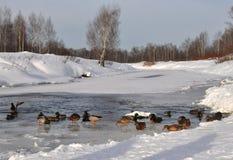 Eenden op de rivier Stock Fotografie