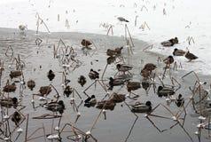 Eenden op een bevroren meer stock afbeelding